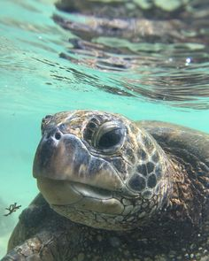 Ive seen sea turtles before but NEVER like this! It was seriously amazing to be right along side these guys. Pictures Of Turtles, Animal Pictures, Hawaiian Sea Turtle, Amphibians, Reptiles, Tortoise Turtle, Turtle Love, Tortoises, Sea Turtles
