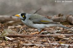 The Noisy Miner - Manorina melanocephala, is a bird in the honeyeater family, and is endemic to eastern and southeastern Australia.
