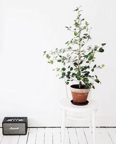 Stackars vackra fikonträdet fick något som heter spinn (ohyra!) så medan det är i karantän ute på balkongen så fick denna fina #pillerfikus flytta in  #öglanstol #vittgolv #vitagolv #marshallacton