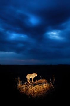 A cheetah at twilight in Kenya's Masai Mara.
