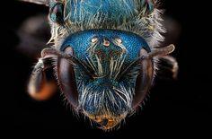 Biene (Osmia distincta), photo: Native Bee Inventory and Monitoring Lab, U.S. Geological Survey