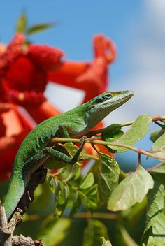 A green anole lizard (Anolis carolinensis) in South Carolina. The lizard is first reptile to have its genes sequenced, which may provide scientists with clues about how animals and humans came to reproduce on land, a study said