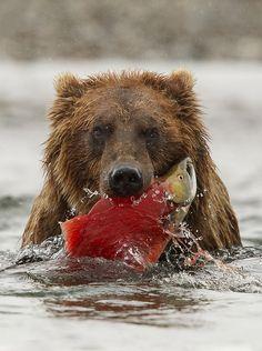 Brown Bear, Katmai Wilderness, Katmai National Park and Preserve, Alaska. Image credits: Robert Amuroso