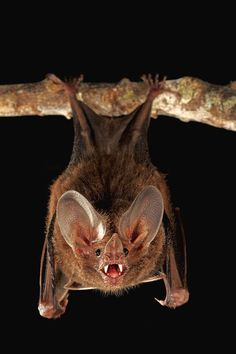 Fringe-lipped bat