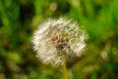 #beautiful flowers #dandelion #dandelion seeds #flower garden #green #nature #nature photography #patterns and colours #plants #texture