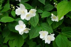 Philadelphus - Sjærsmin. Was in the garden when we bought the house