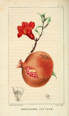 Pomegranate  Flore pittoresque et médicale des Antilles v.1  Paris Pichard,1821-1829.   biodiversitylibrary.org/page/3481326