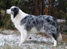 Blue Merle Border Collies are so beautiful, I am so jealous of this dog's owner!!! They often suffer from being blind and deaf at the same time but... I think it would be worth it... ;)