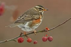 Redwing, our smallest thrush and a winter visitor. As you can see, they like berries.