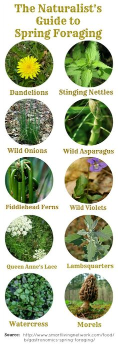 Common Wild Foods of Spring - Foraging Guide and Recipes, I don't know about eating all of this but it looks interesting...