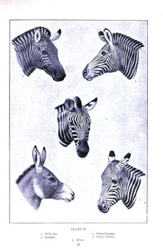 00049ca72f Animal - Animal head - Zebras Animal Heads