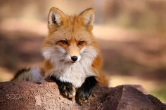 Red Fox by Bill Peaslee on 500px
