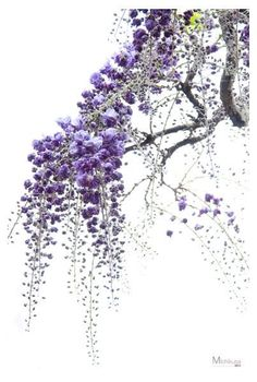 Wisteria Blossoms in bloom Japan Purple Flowers, Beautiful Flowers, Beautiful Beautiful, Bonsai Tree Tattoos, Tattoo Tree, Wisteria Tree, Chinese Wisteria, Purple Wisteria, Art Mur
