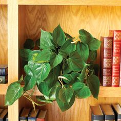 Purify the air with Philodendrons. The reason I like philodendrons so much is because they filter out toxins found in lots of glues and leathers. So, if you have a lot of those in your home, then this is definitely a great plant to have around.