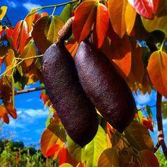 ★ Sensual Burgundy ★ A frutificação e os brotos novos da incrível espécie nativa Jatobá ( Hymenaea courbaril)