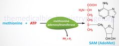Synthesis of S-adenosylmethionine (SAM)