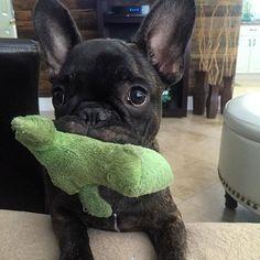 Frogdog ™ @thesirfrederick #frenchie #frenchieoftheday…