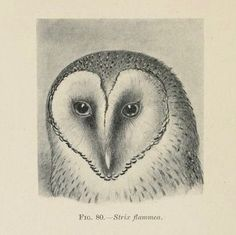 Fig. 80. Barn owl. The birds of South Africa. 1900.