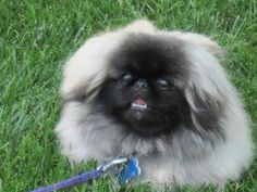 SPRING PEKINGESE PUPPIES
