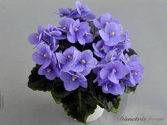 Birth Flowers, African Violet, Blue Angels, Purple Flowers, House Plants, Cool Photos, Garden, Flower Vases, African