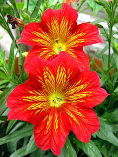 Painted-Tongue: Salpiglossis sp.[Family: Solanaceae] - Flickr - Photo Sharing!