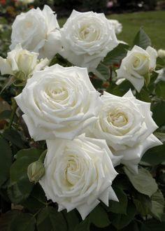 ~'Pope John Paul II' ~ hybrid tea rose, everblooming and very fragrant