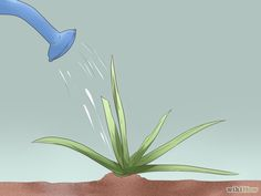 Aloe Vera pflanzen – wikiHow