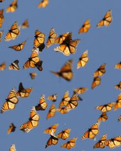 Cold Snap Triggers Monarch Butterflies Migration | Pictured: Migrant monarch butterflies in mid-air as they travel south. | Article date: 2-21-13