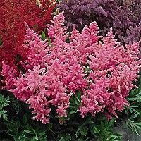 Peach Blossom Astilbe   1 Gallons at Nature Hills Nursery Online