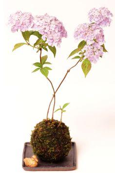 Hydrangea in moss ball... its called a kokedama :D
