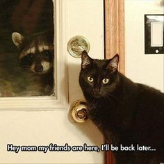 funny cats pictures playing with racoon