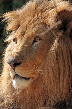 Tonga amersfoort IMG_0763   safi kok   Flickr Beautiful Cats, Animals Beautiful, Cute Animals, Wyoming, Wild Lion, Old King, Lion Of Judah, Small Cat, All Gods Creatures