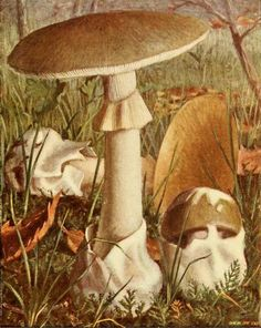 Deathcap Mushroom ( Amanita phalloides).  Illustration taken from 'Nouvel Atlas de Poche des Champignons' by Paul Dumee. Published 1911 by Leon LHomme.  The LuEsther T Mertz Library, the New York Botanical Garden