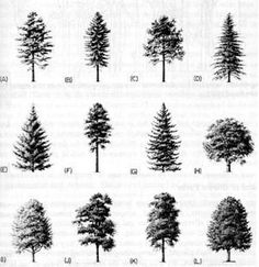 Learning a tree's botanical parts is useful for tree owner and forest manager. These tree parts and markers help make positive tree identification.: Parts of a Tree, Use Shape or Silhouette to Identify a Tree Evergreen Tree Tattoo, Evergreen Trees, Pine Tree Tattoo, Forest Tattoos, Nature Tattoos, Tattoos Of Trees, Types Of Pine Trees, Tree Structure, Tree Identification