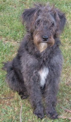 Black Miniature Schnoodle (Schnauzer x Poodle cross)