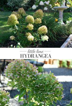 Little Lime Hydrangea- a unique hydrangea with beautiful flowers that fits in any size garden.