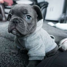 Good morning human French Bulldog Puppy
