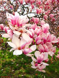 Chinese Magnolia Tree or \Tulip\ Tree flowering trees pretty trees color and texture landscape plans spring will be here before you know it. Flor Magnolia, Magnolia Trees, Magnolia Flower, Trees And Shrubs, Trees To Plant, Tree Seeds, Landscape Plans, Ornamental Plants, Garden Trees