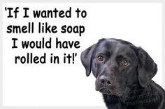 #labradorluv #allthingslab #labhq Labrador Quotes, Things I Want