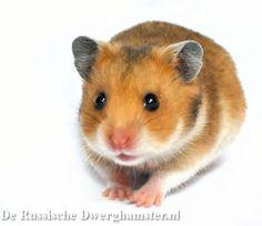 syrische hamster moon #hamster #goudhamster #syrischehamster