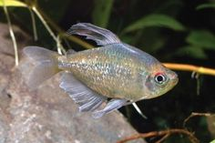 In the January 2012 issue, I wrote about some of the best tetras available for beginners in the hobby.  The wide variety of shapes, colors, and behaviors of tetra species now available will leave most aquarists spoiled for choice when perusing their local fish store for new stock, and choosing can be a tough (but fun) ordeal. Tetras are also one of the first groups of fish new hobbyists begin with, as they are commonly available, small, colorful, and (generally) peaceful.