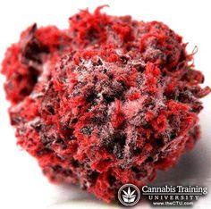 Beautiful red cannabis bud! | theCTU.com