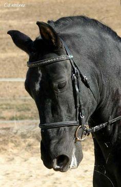 un cheval noir au galop chevaux d 39 amour pinterest chevaux noirs noir et animal. Black Bedroom Furniture Sets. Home Design Ideas