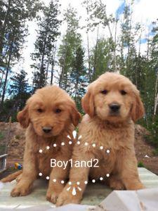 Purebred Golden Retriever Puppies Golden Retriever Purebred