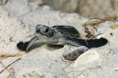 Learn about the Life Cycle of sea turtles, from hatchling to adult.  For more: http://www.seeturtles.org/1402/life-cycle.html (Photo Credit: Dave Addison)