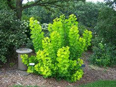 Cotinus - Golden Spirit Smoke Bush. Fantastic contrast plant - looks great paired with purple-blue flowers like May Night Salvia.