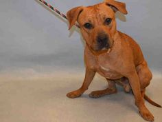 **PUPPY ALERT** - PRINCE - #A1077665 - Urgent Manhattan - **DOH HOLD-B** - MALE BROWN/WHITE AM PIT BULL TER MIX, 7 Mos - OWNER SUR - ONHOLDHERE, HOLD FOR DOH-B Reason ATT PEOPLE - Intake 07/11/16 Due Out 07/20/16 - NERVOUS DURING THE INITIAL EXAM BUT LIKED BEING PETTED