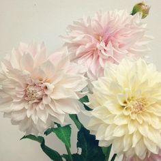 Fresh Flowers, Pretty Flowers, Dahlia Bouquet, Garden S, Dahlias, Bouquets, Our Wedding, Blog, Bride