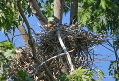 Black Cormorant on Nest, Heron Rookery, Old Hickory Lake, Hendersonville, TN