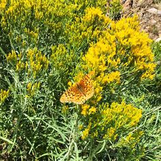 Flowers in the Sage.  #Provoriver #backcountry #flyfishing #butterfly